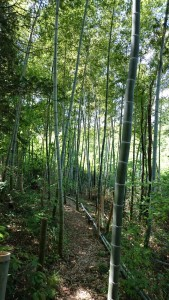 竹の子芽吹き